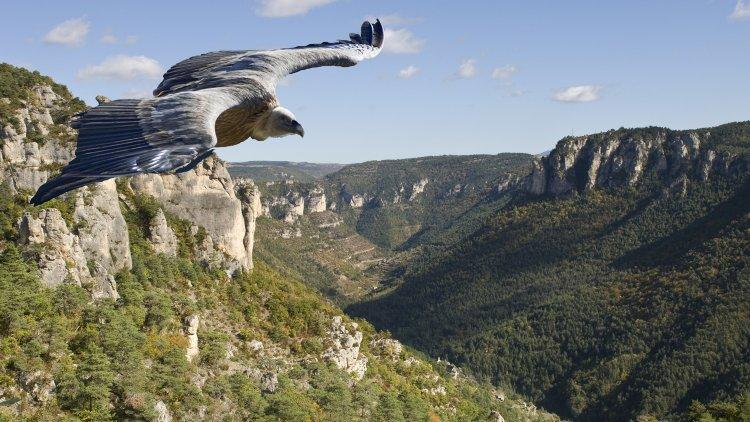 blog_vautour_roi_des_gorges_01