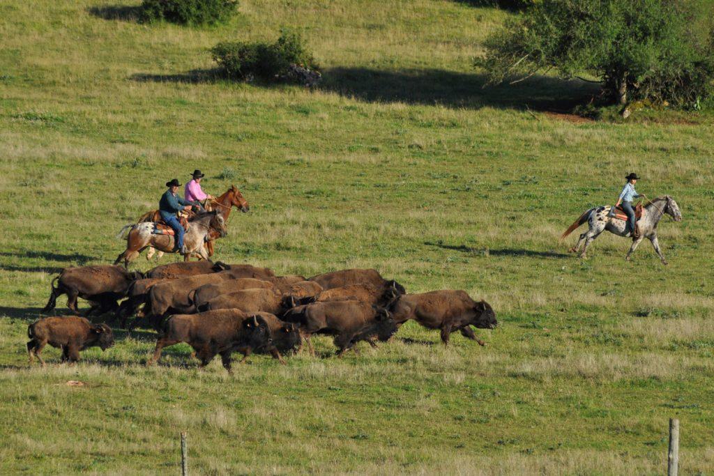 tri-bisons-2une